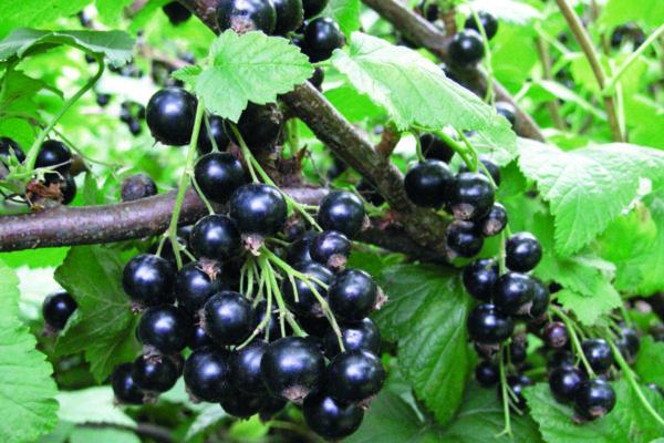 Смородина черная Селеченская