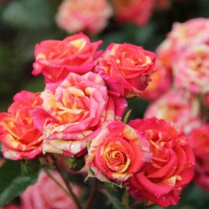 Роза спрей «Файер флэш»