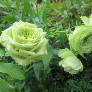Роза чайно-гибридная «Зеленая планета»