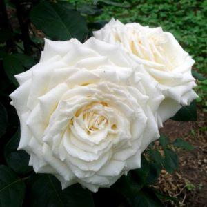 Роза чайно-гибридная «Боинг»