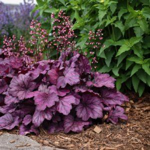 Гейхера пурпурная