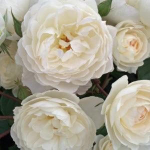 Роза английская «Уайт лесс»
