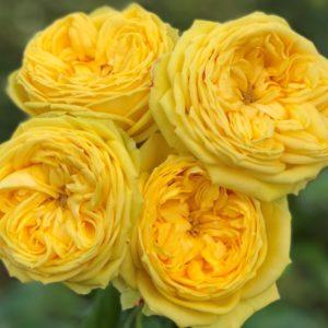 Роза английская «Каталина»