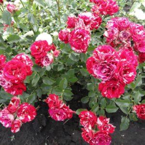 Роза спрей Красно-белая