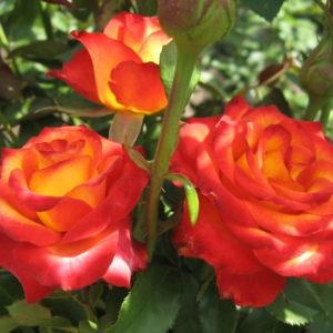 Роза чайно-гибридная «Высший свет»