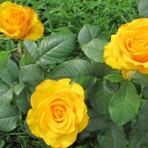 Роза чайно-гибридная «Керио»
